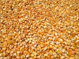 Yellow maize corn for human consumption