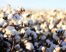 Cotton Seed Coating Polymer