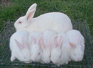 Live New Zealand Rabbit