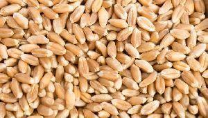 Long Grain Wheat Seeds
