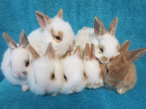 Breed Rabbits