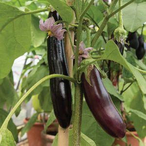 Black Brinjal Seeds