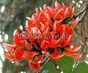 Dried  Butea Monosperma Flowers