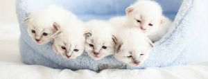 Cat Breeding Services