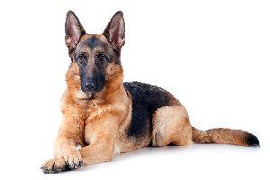 German Shepherd Dog at Best Price from German Shepherd Dog Suppliers