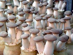 Oyster Mushroom Spawn