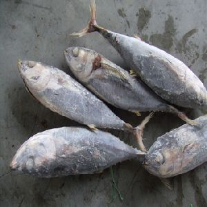 Frozen Yellowfin Tuna