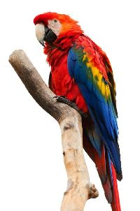 coloful parrot