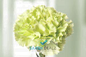 Green Carnation Flower