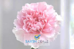 Light Pink Carnation Flower