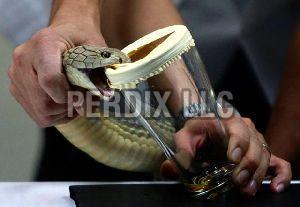 King Cobra Venom