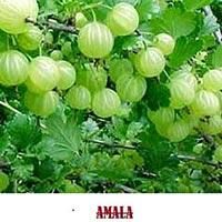 Fresh Amla