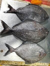 Fresh - chilled  Silver Pomfret Fish