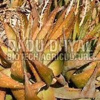 Aloe Vera Dried Leaves