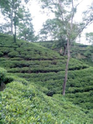 Assam Green Tea in Silchar - Manufacturers and Suppliers India