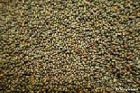 Sesbania Seeds