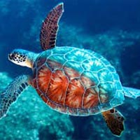 Live Turtle