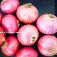 Red Indian Nashik Onion