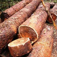 Chechen (Metopium Brownei) Wood Logs