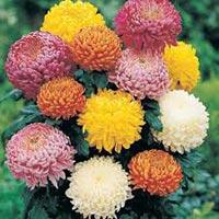 Fresh Chrysanthemums Flowers