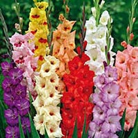 Fresh Gladiolus Flowers