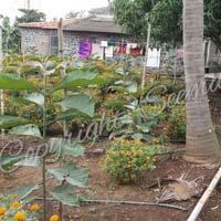 Burma Tissue Culture Teak Plants