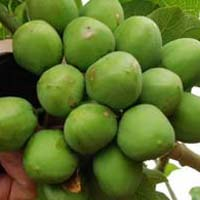Jatropha Seeds Oil