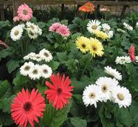 Tissue Culture : Gerbera (on Demand)