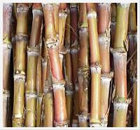 Tissue Culture : Sugarcane