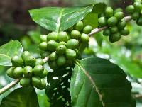 Green Coffee Bean Extract ( Chlorogenic Acid 45%-60% )