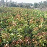 mangos farms narsari
