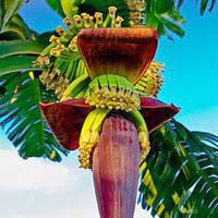 Fresh Banana Flower