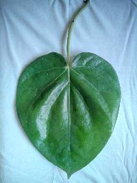 Fresh Bangla Paan Leaves