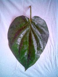 Fresh Maghai Paan Leaves
