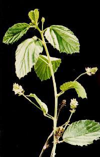 Psoralea Corylifolia Plant