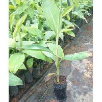 Banana Tissue Culture Plants