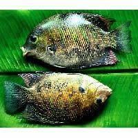 Dhoma Fish