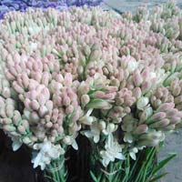 Fresh Tuberose Cut Flower