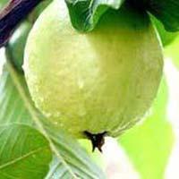 Fresh Harijha Guava