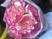 Double color carnations