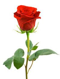 Cut Rose Flowers