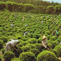 Ceylon Tea Leaves