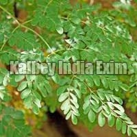Fresh Moringa Oleifera Leaves