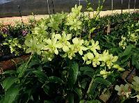 orchid orrisa
