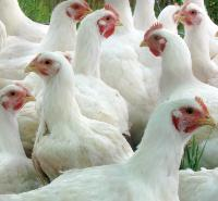Chicken Grower Feed