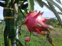 Dragon Fruite Plants