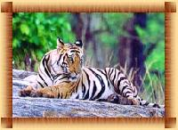 Weekend With Royal Bengal Tiger