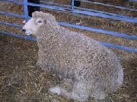 And Sheep Wool.