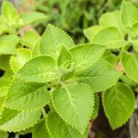 Coleus Medicinal Plant