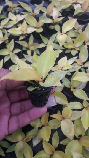 Philodendrons Plants Manufacturers Suppliers